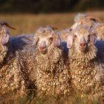 Le mohair, laine douce et chaude en toutes saisons !