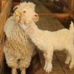 Chèvres angora mohair à vendre