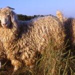 Mohair, une fibre naturelle dont il faut profiter