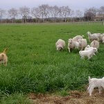 Elevage de chèvres angora