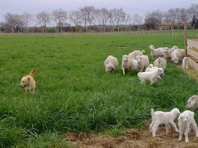 Élevage de chèvres angora de la Ferme d'Auré - mohaIR